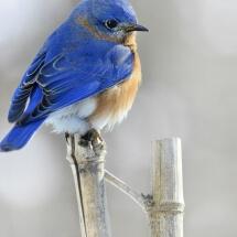 Photograph: Easter Bluebird, Male