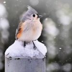 Photograph: tufted Titmouse Bird