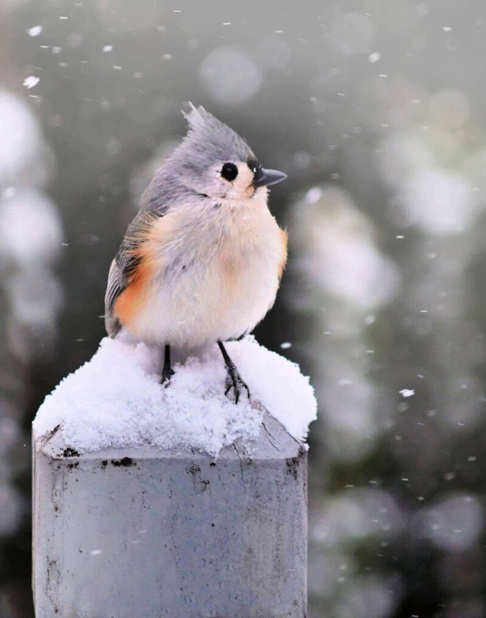 Photograph: tufted Titmouse Bird