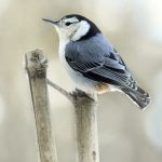 Photograph: White Breasted Nuthatch