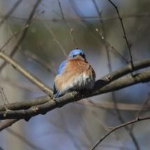 photo of bluebird