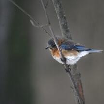 photograph of Bluebird