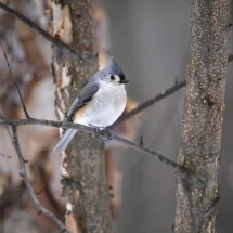 image of Tufted Titmouse