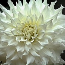 photograph of large white dinner plate Dahlia