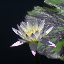 image of lavendar and white waterlily