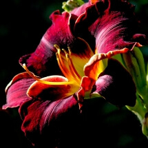 Velvety Red Day Lily
