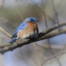 image of Bluebird in winter