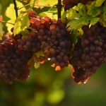 Wine Grapes finger lakes ny by Deborah Nyman