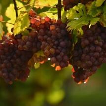 Wine Grapes finger lakes ny by Deborah Nyman