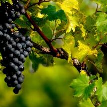 Finger lakes Grapes by Deborah Nyman