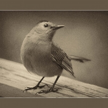 Photograph: Catbird by Deborah Nyman
